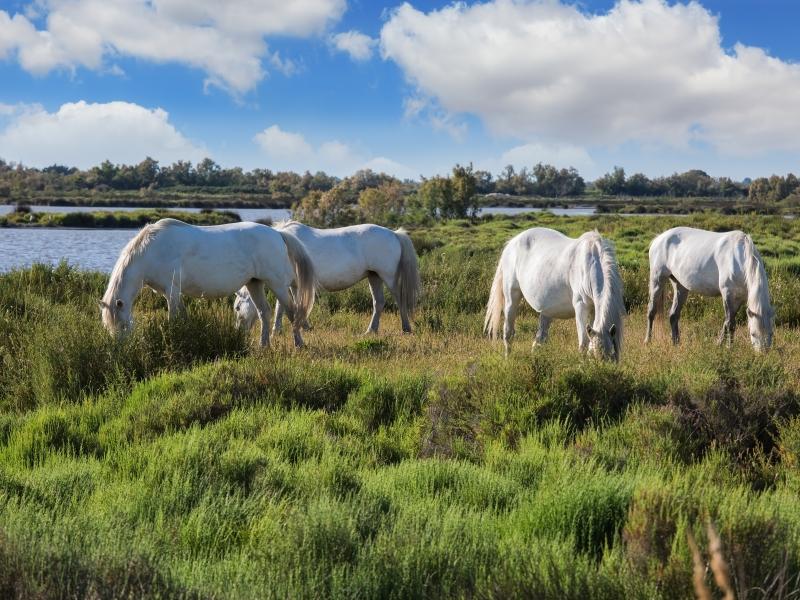 Carmague Horses