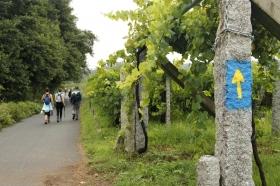 Walking Through Galician Vineyards